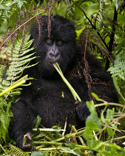 Gorillas  8401.jpg