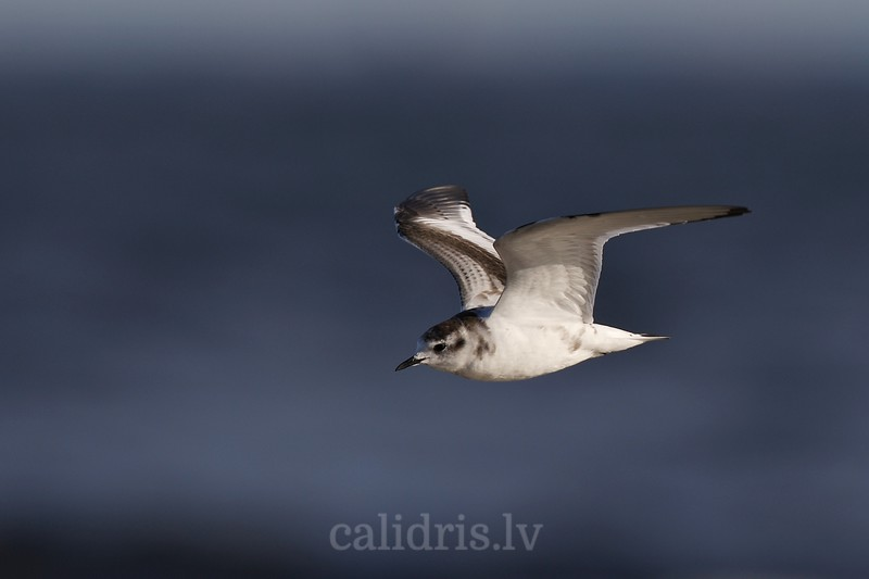 Little gull in flight (juv.)