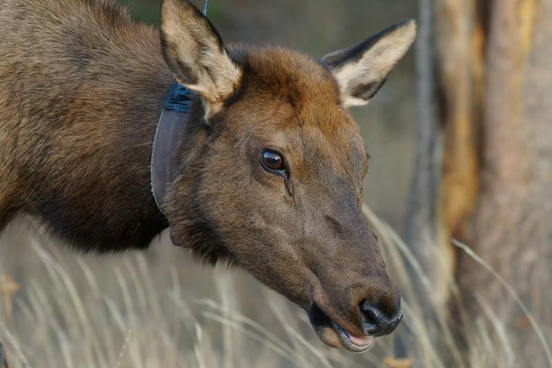 Radio collars help monitor elk herds in Yellowstone [September; Yellowstone National Park, WY]