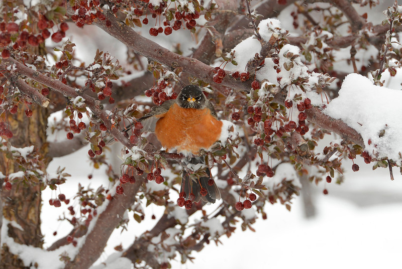 . A robin take shelter from a spring storm in Denver, April 09, 2013. The storm has blown into Colorado, with strong winds and below freezing temperatures creating blizzard-like conditions at times. (Photo By RJ Sangosti/The Denver Post)