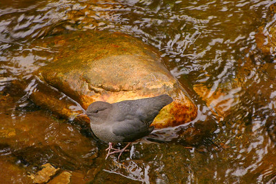 American Dipper at Indian River September 2013, Cynthia Meyer, Chichagof Island, Alaska