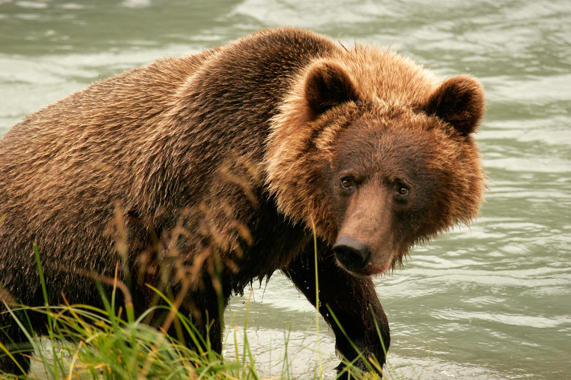 Grizzly, Haines, Alaska.