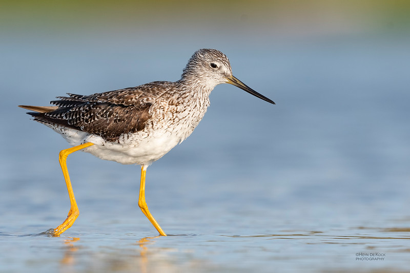Greater Yellowlegs, Fort De Soto, St Petersburg, FL, USA, May 2018-5.jpg