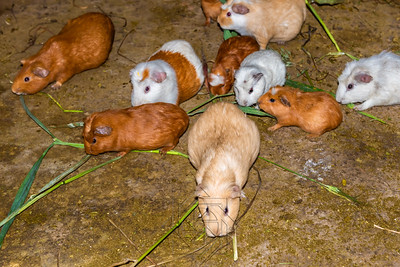 Herd of guinea pigs in house