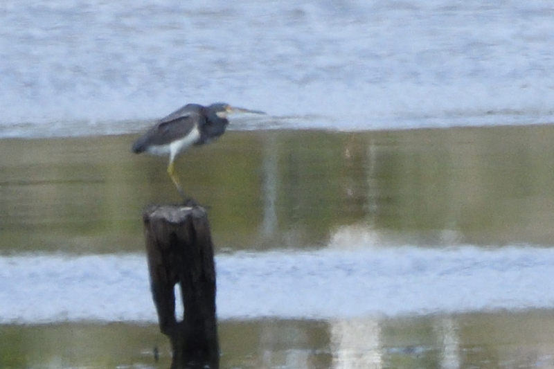 Tricolored Heron (very distant) - 3/11/2018 - Famosa Slough