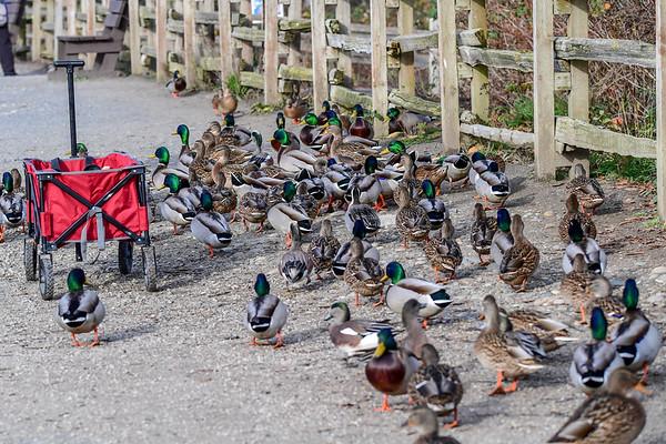 11-27-17 Birds Of Reifel Bird Sanctuary
