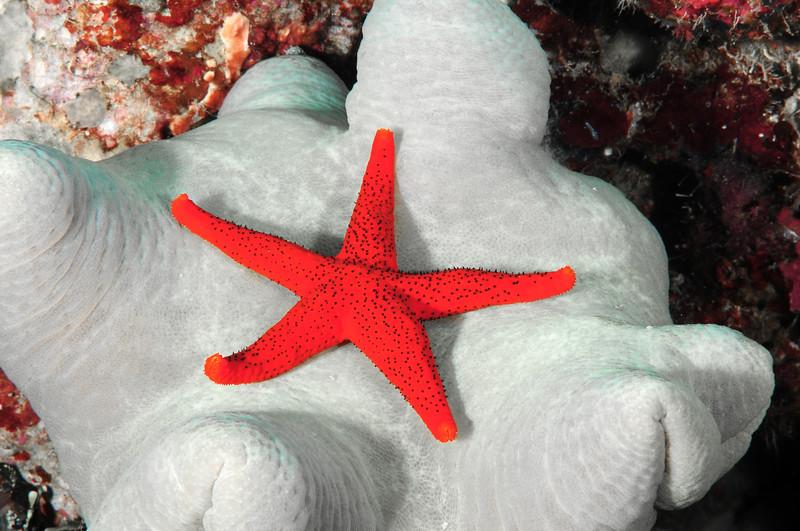 Red Seastar on White sponge