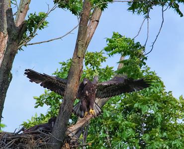 Eaglets-First Flight
