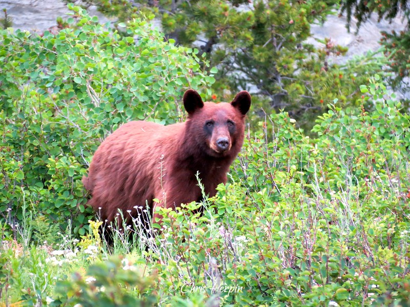 Cinnamon Black Bear - Glacier National Park, Montana