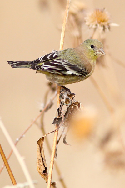 Lessor Goldfinch (Female)