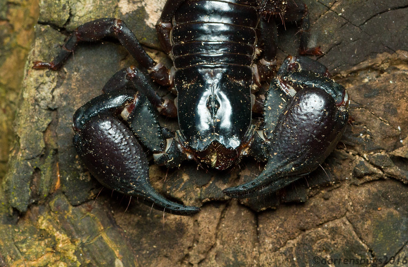 Giant Asian Forest Scorpion, Heterometrus sp., from Thailand.