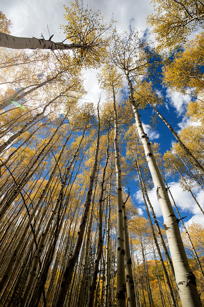 Aspens wide angle looking up1.jpg