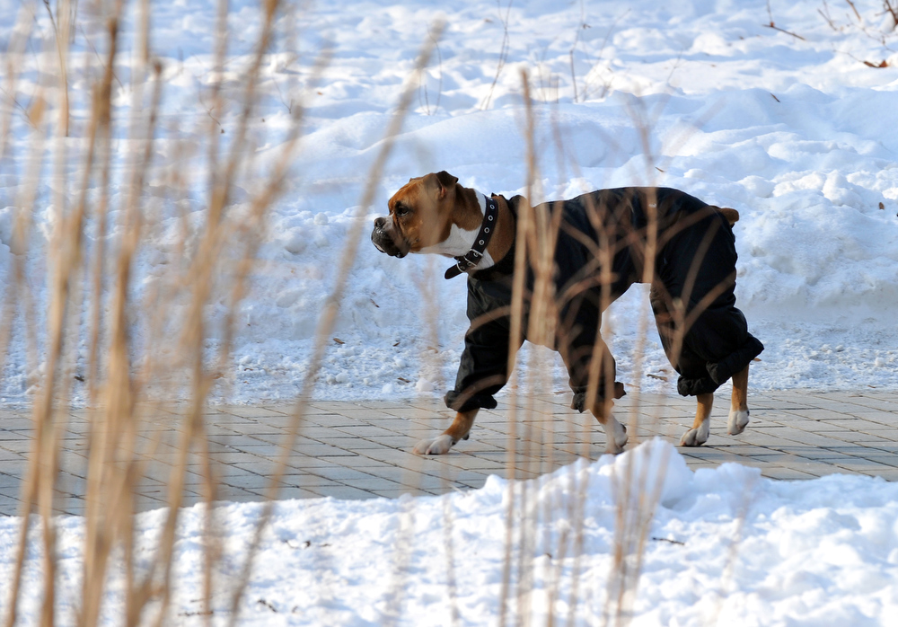 Description of . A dog wears a jacket as it  walks during a hevy frost in Kiev on February 2, 2012. In Ukraine, tens of thousands of people have headed to shelters trying to escape the freeze that the emergencies ministry said has now killed 63 people. AFP PHOTO/ SERGEI SUPINSKY