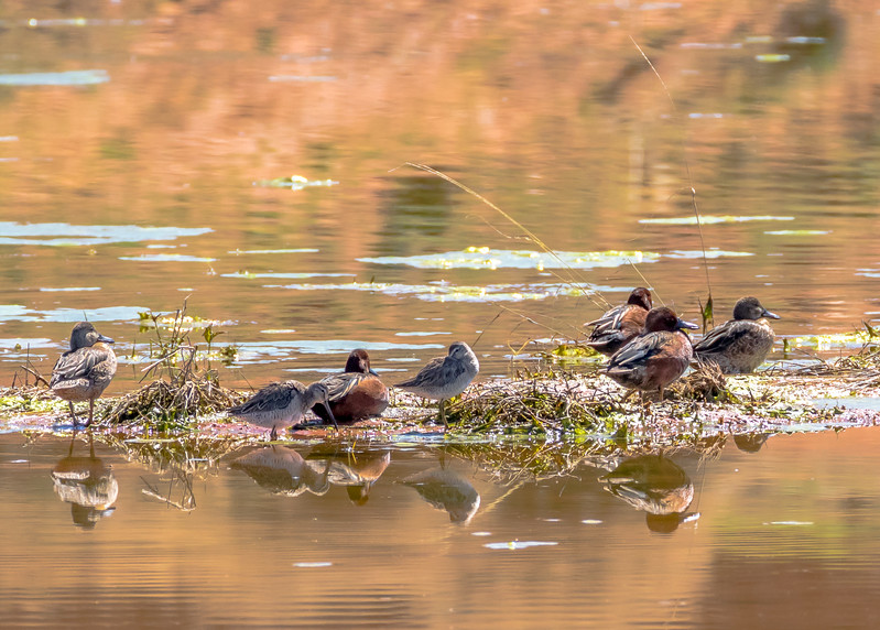 Short-billed Dowitcher and Cinnamon Teal