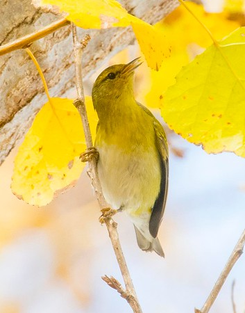 Tennessee Warbler 12-11-18 Lake Murray