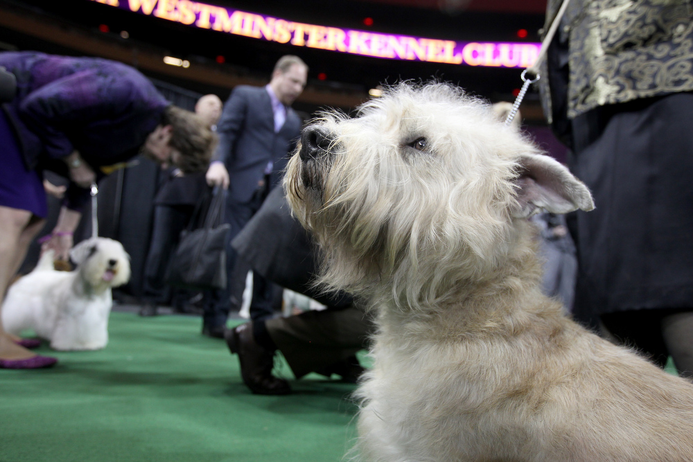 Description of . Terriers prepare to compete at the 137th Westminster Kennel Club Dog Show on February 12, 2013 in New York City. Best of breed dogs competed for Best in Show at Madison Square Garden Tuesday night. A total of 2,721 dogs from 187 breeds and varieties competed in the event, hailed by organizers as the second oldest sporting competition in America, after the Kentucky Derby.  (Photo by John Moore/Getty Images)