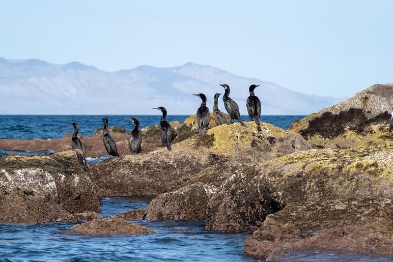 Cormorants.