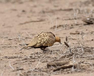 A 18 Sandgrosses-Flughühner
