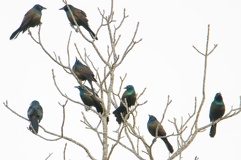 3.3.18 - Heritage Bay: Just a few of the appx. 50 Common Grackles visiting