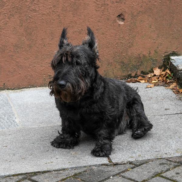 Black Yorkshire Terrier sitting on sidewalk, Shandon, City of Cork, County Cork, Ireland