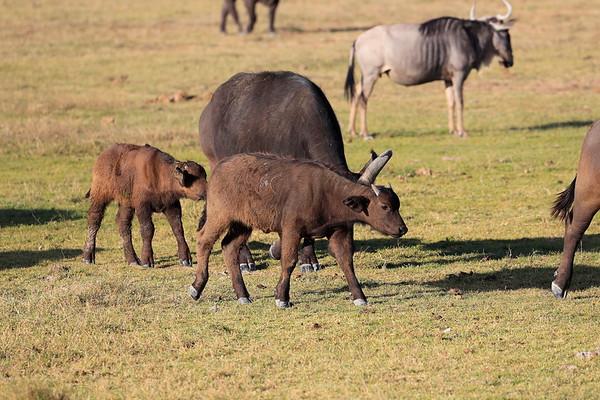 Cape Buffalo Amboseli and Mara North Kenya 2017