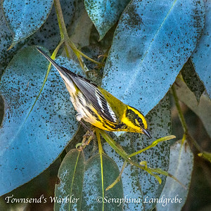 Finches & Warblers