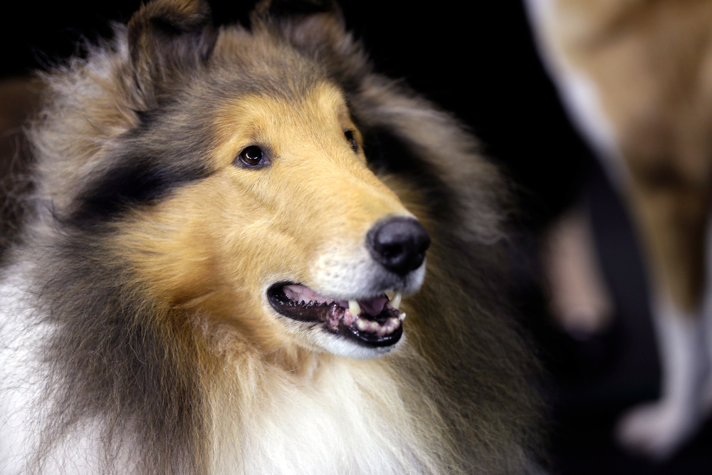 Description of . A rough collie waits to compete in the hearding group during the Westminster Kennel Club dog show, Monday, Feb. 11, 2013, at Madison Square Garden in New York. (AP Photo/Frank Franklin II)