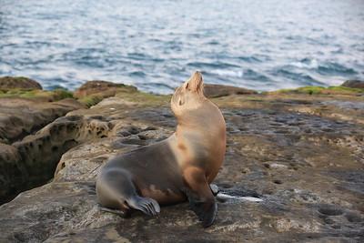 La Jolla Sea lions, Harbor seals with pups
