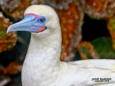 Red Footed Booby 6s.jpg