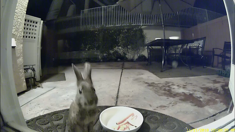 Bunny Trapped in Patio