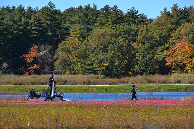 Cranberry Harvest Carlisle MA Oct 2012
