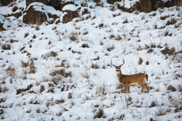 Wintering Whitetail