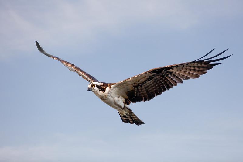 Raptor. Flight_2472.jpg