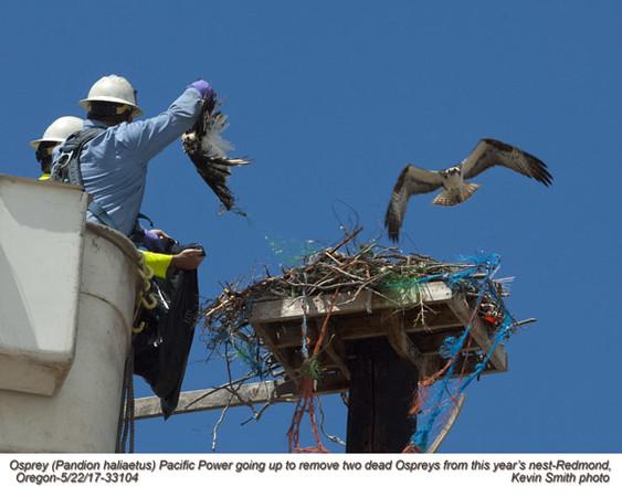 Osprey nest with 2 dead birds A33104.jpg