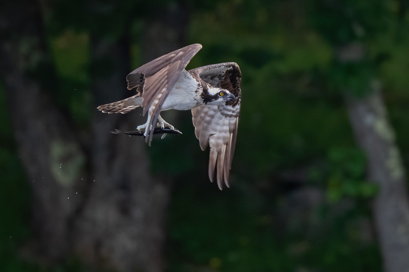 #1450 Osprey