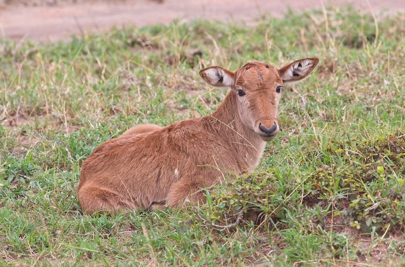 Cokes Hartebeest - one day old young, Naboisho Conservancy