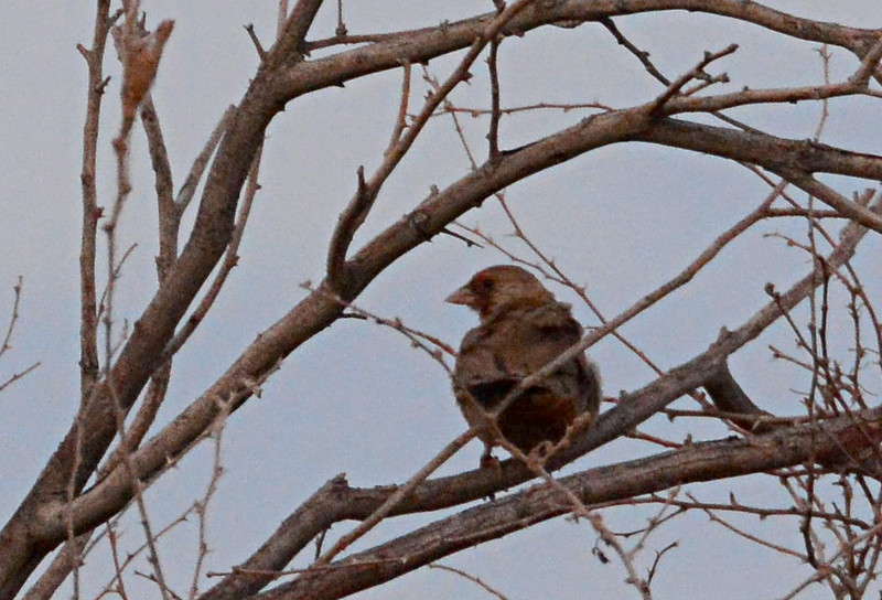 Abert's Towhee - 7/27/2014 - Carter and Fites area Imperial Valley