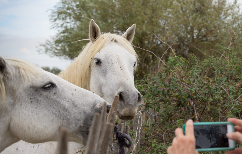 Two white horses standing behind a fence and posing for a photograph.