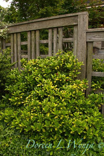 Skimmia japonica female_1716.jpg