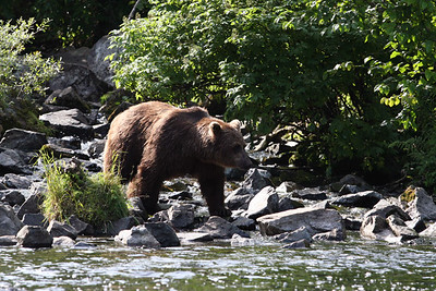 BEAR VIEWING - 2008
