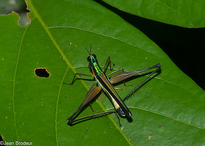 Phasmopteres, Mantidae et Orthoptere, du Perou