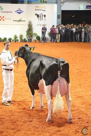 Cremona 2016 Holstein Cows