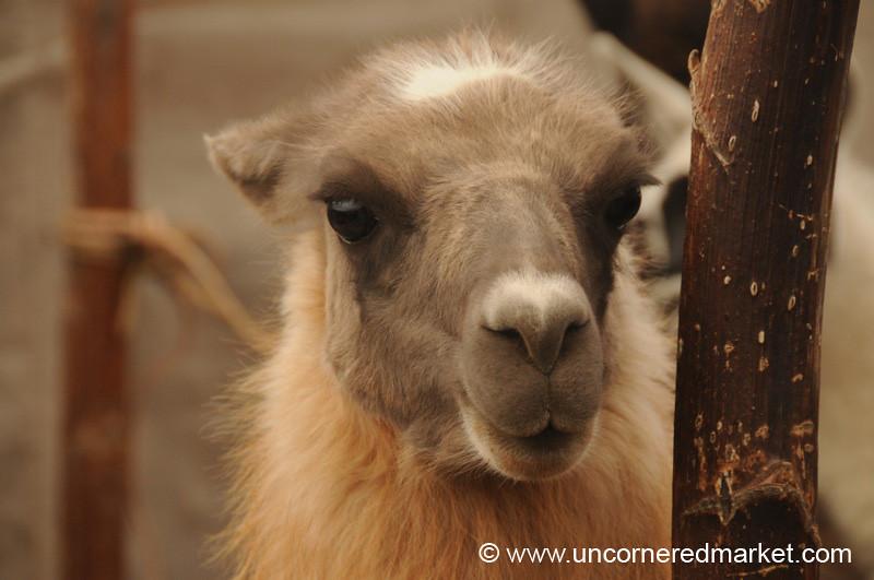Soft Llama - Saquisili, Ecuador
