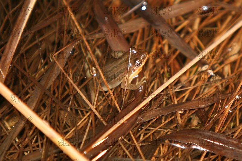 Western Chorus Frog or Striped Chorus Frog (Pseudacris triseriata).