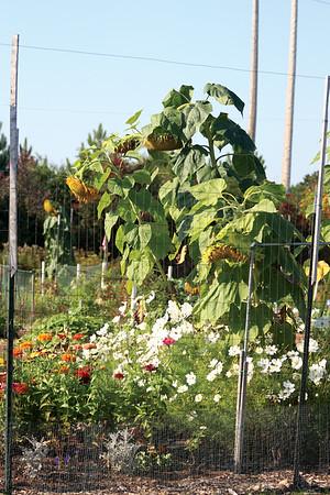 Community Garden Pumpkin Patch