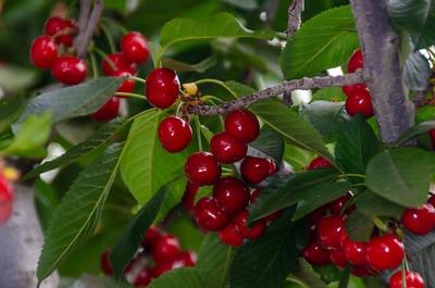 Brooks Cherry - Prunus avium sp.