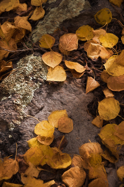 Aspen Leaves In Autumn 063 | Wall Art Resource