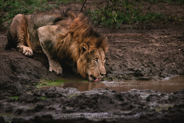 WILDLIFE | 2015 Christmas with Lions