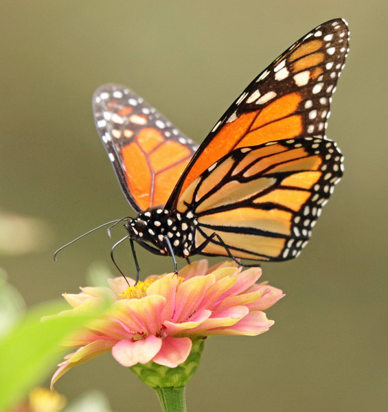 monarch 52.jpg