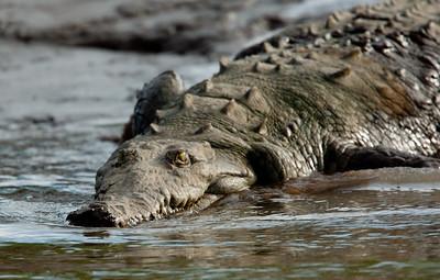 Crocodile VilLapas_09-11-01_7I2B1411